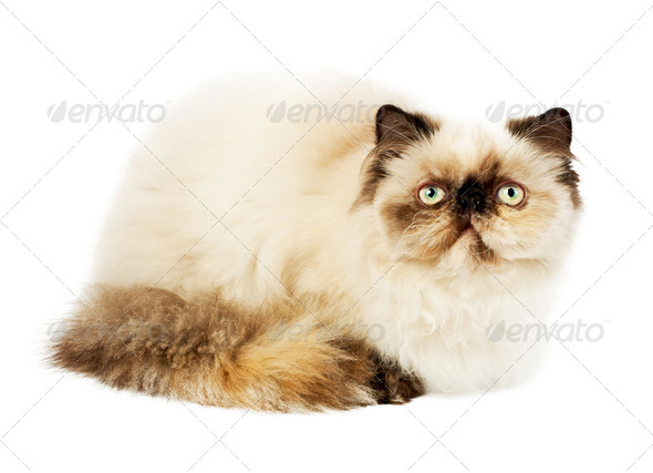 Cream Persian cat - Stock Photo - Images