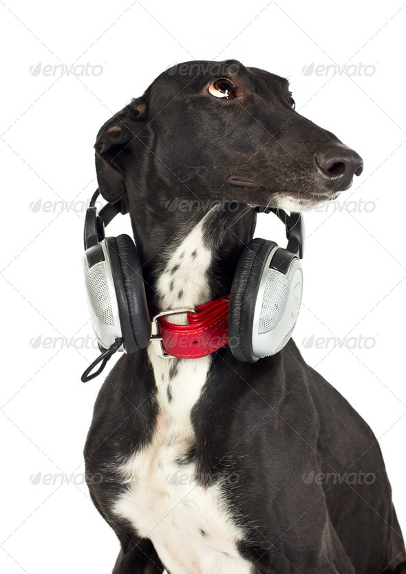 Dog with headphones - Stock Photo - Images