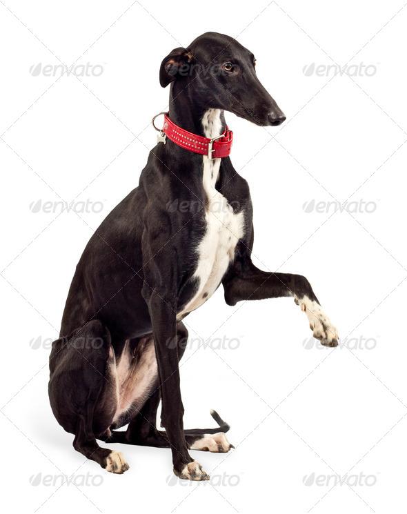 Greyhound dog - Stock Photo - Images