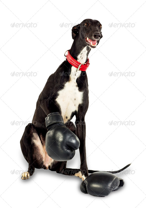 Dog in boxing gloves - Stock Photo - Images
