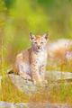 Cute lynx cub sits in grass