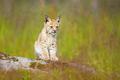 Cute lynx cub sits in meadow