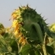 Huge Sunflowers On The Field - VideoHive Item for Sale