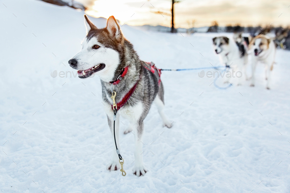 Husky dog ready for sledding in the cold winter - Stock Photo - Images