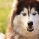 Portrait of a Siberian Husky  - VideoHive Item for Sale