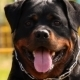 Rottweiler Portrait - VideoHive Item for Sale