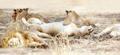 Sleeping lions in large pride at the savannah