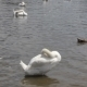 White Swans And Ducks - VideoHive Item for Sale