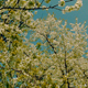 White Blooming Trees - VideoHive Item for Sale