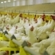 Chicken Farm Poultry Production - VideoHive Item for Sale