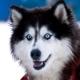 Husky Dog - VideoHive Item for Sale