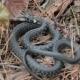 Grass Snake (Natrix Natrix). - VideoHive Item for Sale