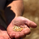 Wheat Grains In Farmers Hands - VideoHive Item for Sale