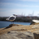 Seagull Standing On Rock Beside Ocean  - VideoHive Item for Sale