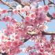 Sakura Cherry Blossom  - VideoHive Item for Sale