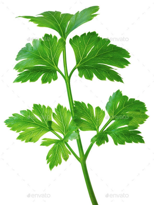 Flat-leaved parsley - Stock Photo - Images