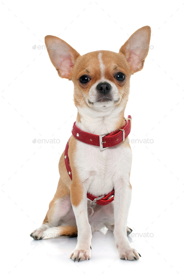young male chihuahua - Stock Photo - Images