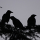Crows Silhoutte - VideoHive Item for Sale