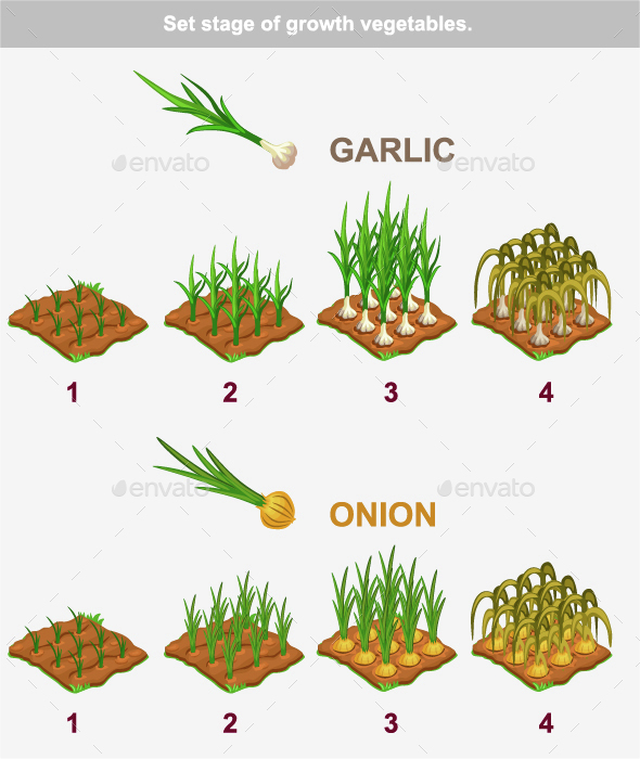 Stages of Vegetables Growth Garlic and Onion - Organic Objects Objects