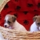 Two Puppy Jack Russell Terrier - VideoHive Item for Sale
