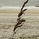 Lone Sea Oat - VideoHive Item for Sale
