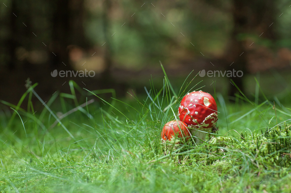 Poisonous Amanita mushrooms - Stock Photo - Images