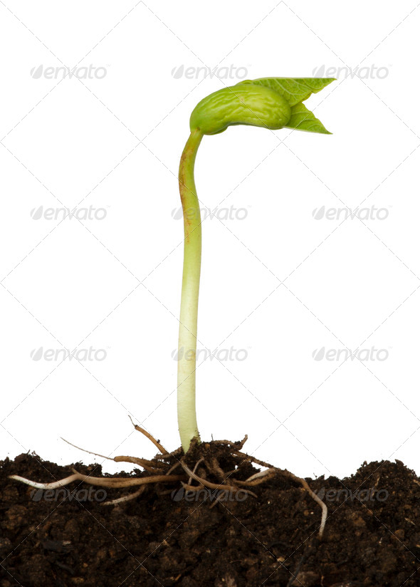 Germinating bean - Stock Photo - Images