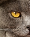 Pet - British Shorthair Cat