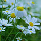 Natural Daisy Flowers on Spring - VideoHive Item for Sale