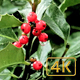 Holly - VideoHive Item for Sale