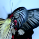 Big Yellow Black butterfly - VideoHive Item for Sale