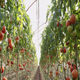 Greenhouse Tomatoes - VideoHive Item for Sale