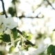Bee On Apple Blossom  - VideoHive Item for Sale