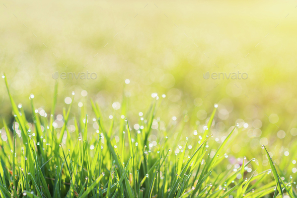 Morning dew drops on blades of green grass, sunrise - Stock Photo - Images