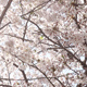Japanese Cherry Blossoms 04 - VideoHive Item for Sale