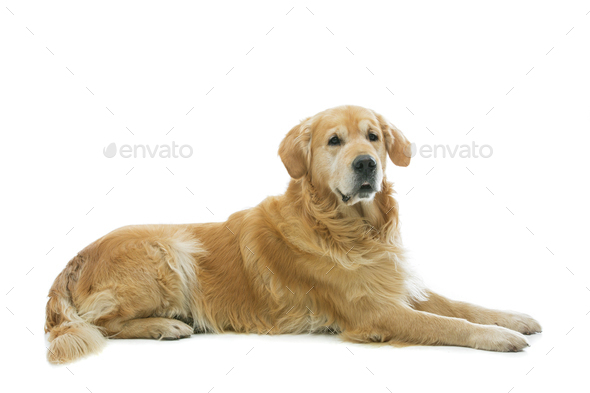 Old beautiul golden retriever dog - Stock Photo - Images