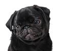 Young black dog pug posing on white background - PhotoDune Item for Sale