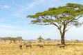 Zebras eats grass at the savannah in Africa