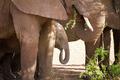 Baby elephant eats in Serengeti