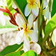 Frangipani in the Breeze - VideoHive Item for Sale