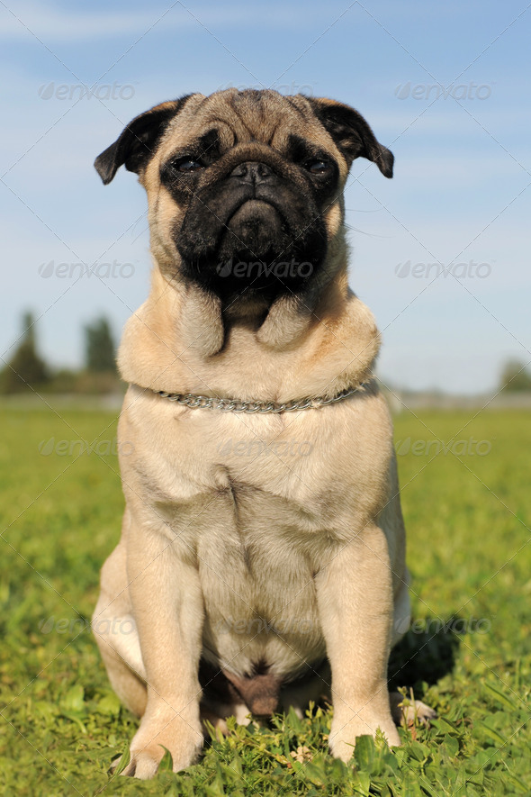 baby pug - Stock Photo - Images