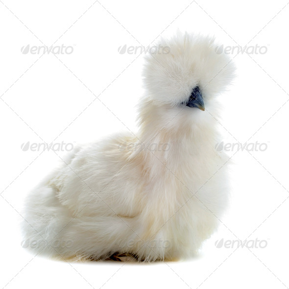 young Silkie - Stock Photo - Images