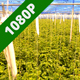 Tomato Plants in a Greenhouse - VideoHive Item for Sale