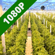 Greenhouse Full of Tomato Plants - VideoHive Item for Sale
