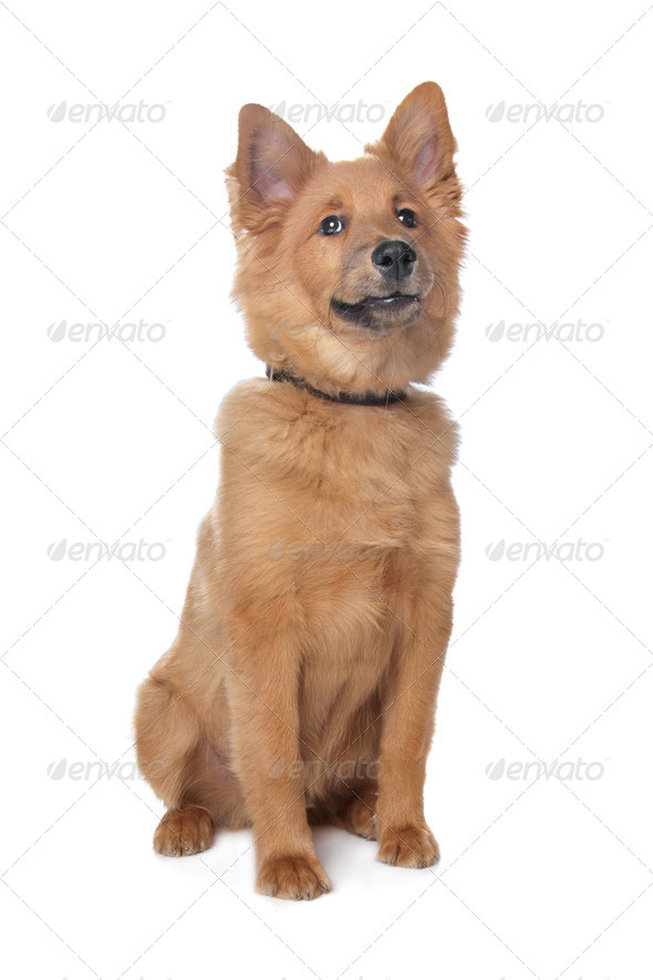 mixed breed dog,sheltie and Eurasiër - Stock Photo - Images