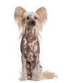 Chinese Crested Dog looking away, isolated on white