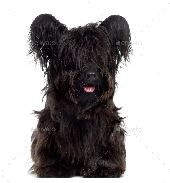 Skye Terrier sticking the tongue out, isolated on white - Stock Photo - Images