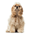 American Cocker Spaniel isolated on white