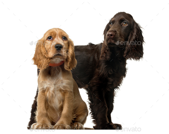 Couple of an English Cocker Spaniel puppies, isolated on white - Stock Photo - Images
