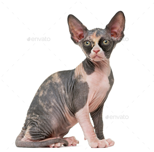 Sphynx kitten sitting, isolated on white - Stock Photo - Images